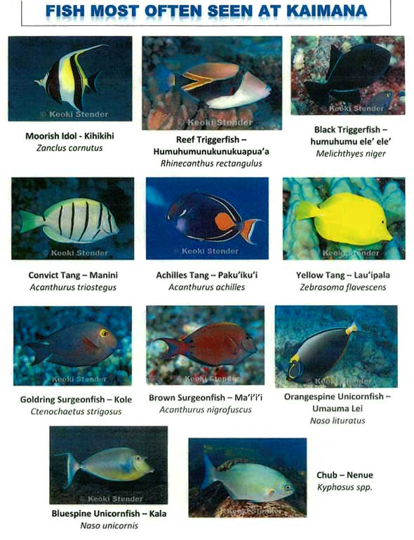 These Are Among The Fish That You May Encounter While Swimming From Kaimana Beach Take A Few Minutes To Learn English Latin And Hawaiian Names Of